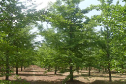 Strong Growing Ginkgo Trees